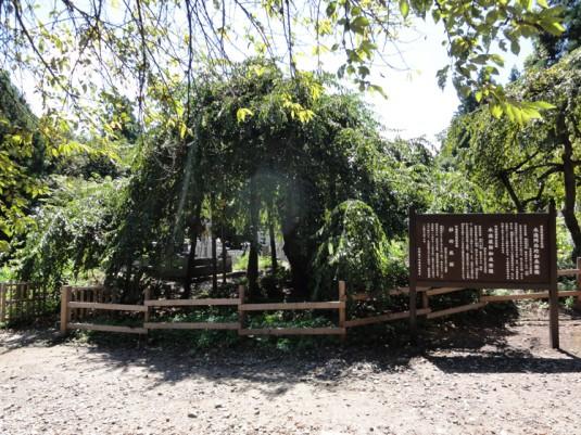 杉の糸桜(杉薬王寺)